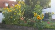 Sonnenblume7